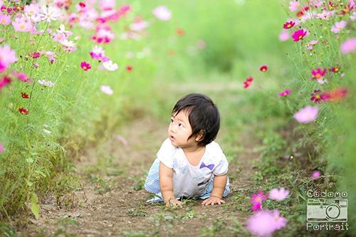 1歳児とコスモス畑